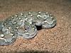 Transcaspian Sawscale Viper, Echis carinatus multisquamatus