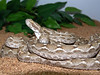 Transcaspian Sawscale Viper, <br /> Echis carinatus multisquamatus<br /> My Collection