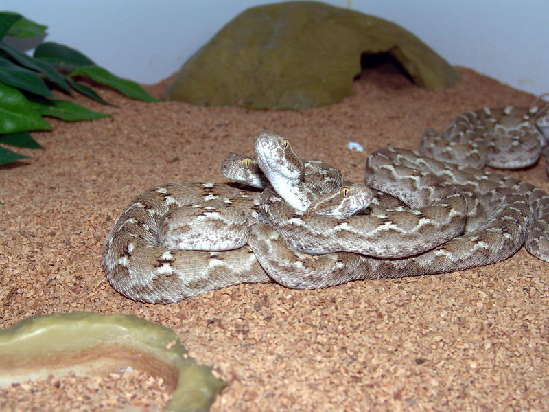 Transcaspian Sawscale Viper, <br /> Echis carinatus multisquamatus<br /> My Collection