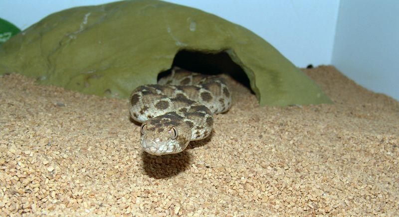 Egyptian Saw-scaled Viper, <br /> Echis pyramidum