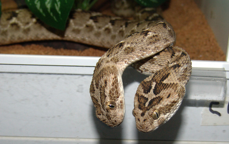 Pakistani Carpet Viper, <br /> Echis carinatus sochureki<br /> My Collection