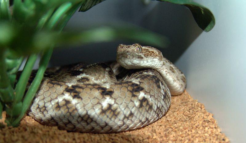 Pakistani Carpet Viper<br /> Echis carinatus sochureki<br /> My Collection