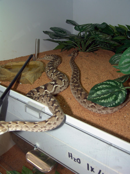 Pakistani Carpet Viper, <br /> Echis carinatus sochureki<br /> My Collection