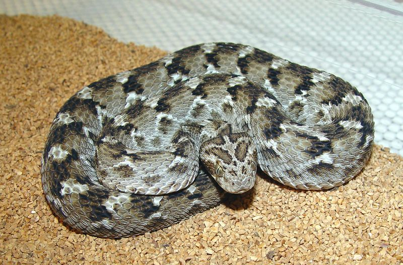 Pakistani Carpet Viper <br /> Echis carinatus sochureki<br /> My Collection