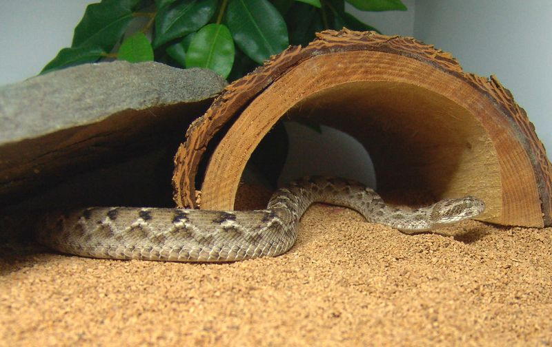 Pakistani Carpet Viper<br /> Echis carinatus sochureki<br /> My Collection
