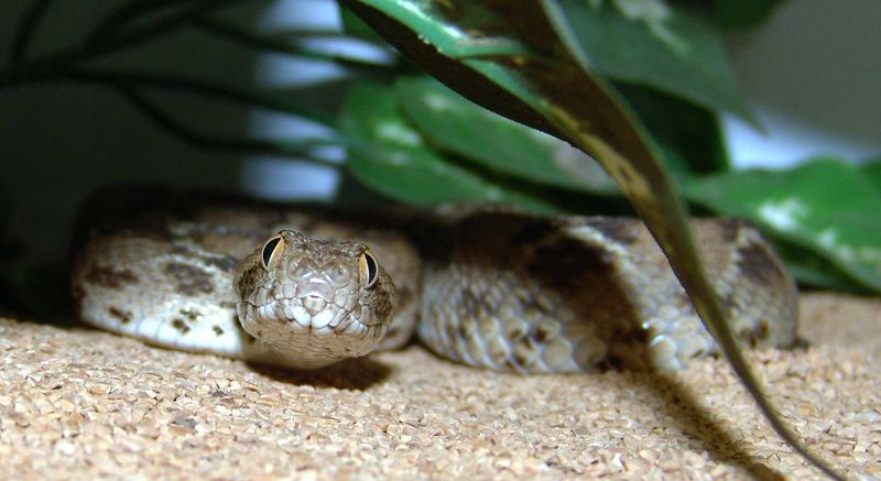 Egyptian Saw-scaled Viper<br /> Echis pyramidum<br /> My Collection