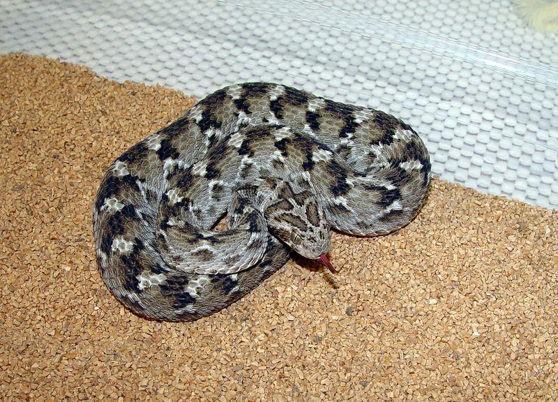 Pakistani Carpet Viper <br /> Echis carinatus sochureki<br /> My Collection