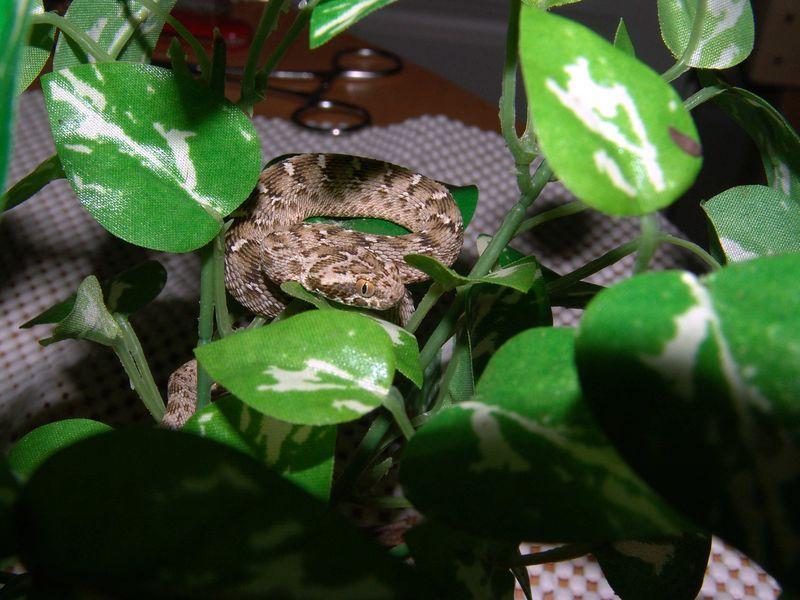Pakistani Carpet Viper, Echis carinatus sochureki