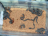 Pakistani Carpet Viper, <br /> Echis carinatus sochureki<br /> My Collection <br /> 19 Babies born 29 June 2006