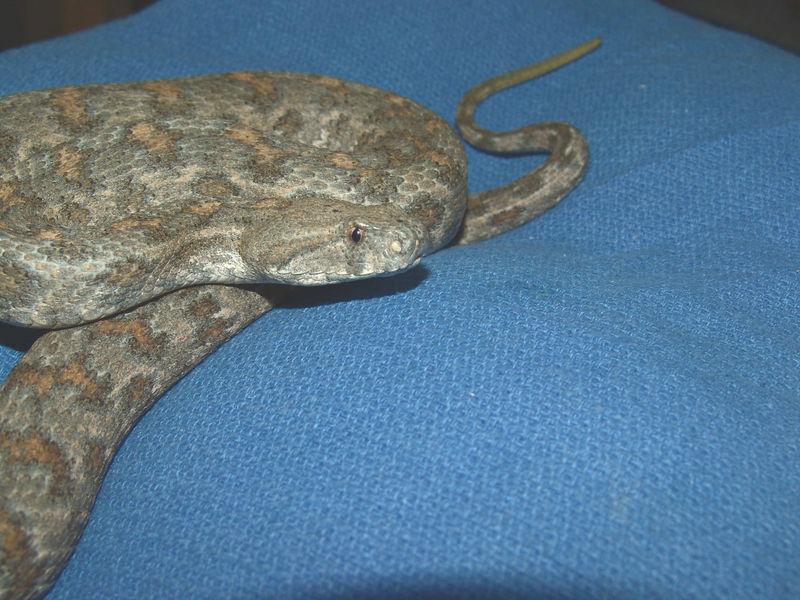 Blunt Nosed Viper, Macrovipera l. turanica