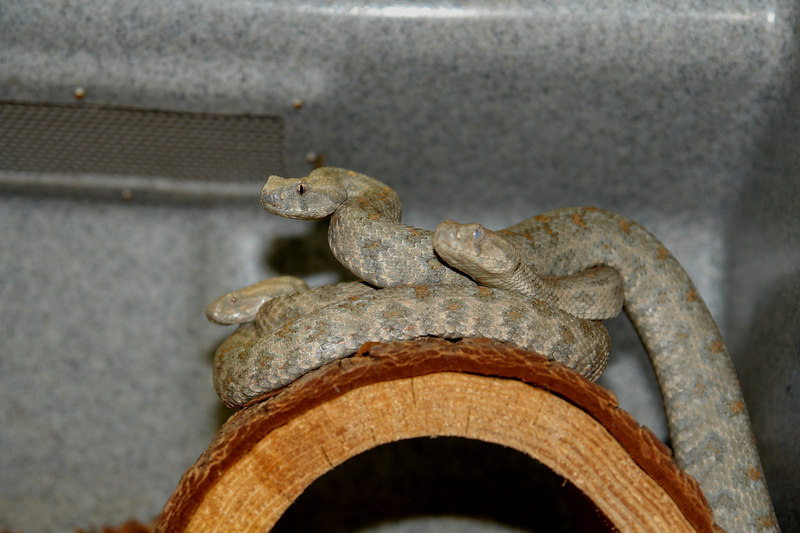 """Blunt Nosed Viper, Macrovipera l. turanica<br /> <br /> AKA """"The Syncronized Eating Team"""""""