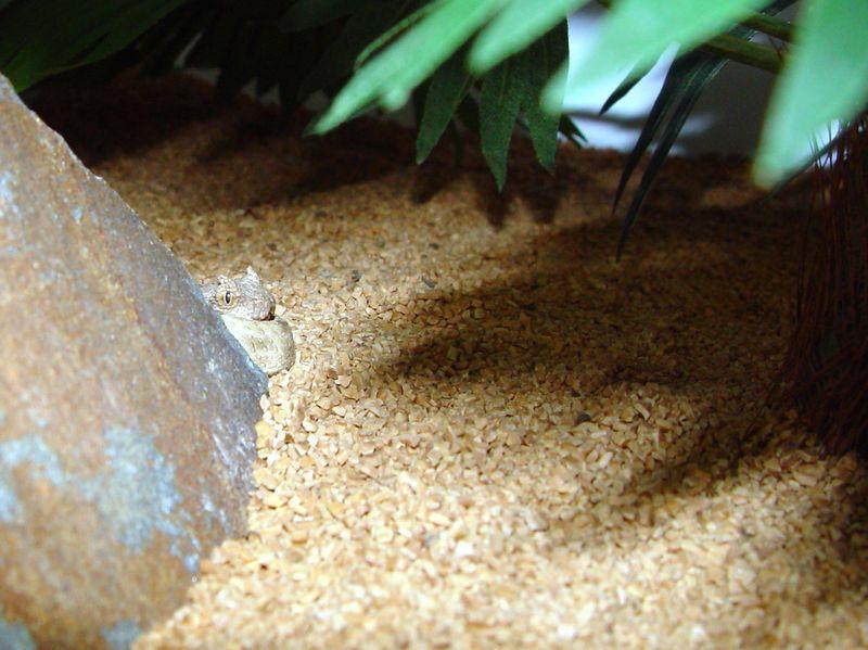 Psedocerastes fieldi<br /> Fields Horned Viper