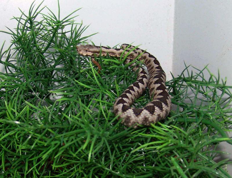 Vipera ammodytes<br /> European Nose Horn Viper<br /> My Collection