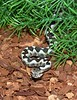 Vipera ammodytes<br /> European Nose Horn Viper<br /> My Collection