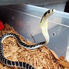 Un-names baby King Cobra