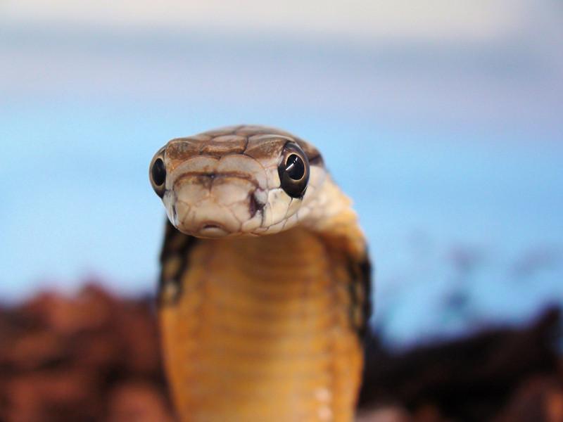 Buzzard<br /> King Cobra