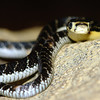 King Cobra, Captive hatched Dec. 06<br /> Ophiophagus hannah<br /> Courtesy of Eric Marquette<br /> Buzzard<br /> King Cobra