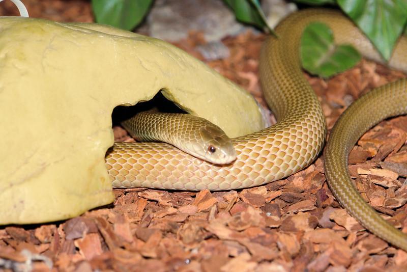 Mr. Brown<br /> Pygmy Mulga Snake<br /> Psudechis rossinolli