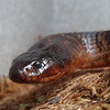 Mr. Collette<br /> Collette's Black Snake<br /> Psedechis colletti