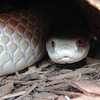 Mr. Brown<br /> Pygmy Mulga Snake<br /> Psudechis rossinolli