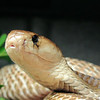 Mr. Naja<br /> Common Cobra<br /> Naja naja