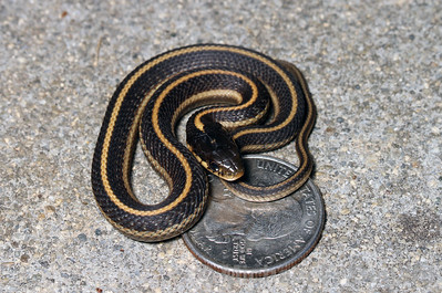 Young Garter Snake on coin