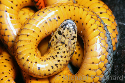 Ringneck snake showing off its red color.