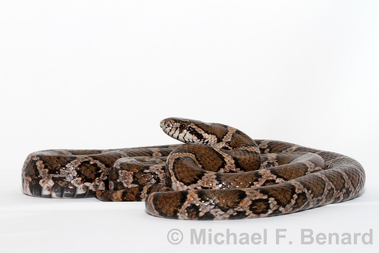 Portrait of Eastern Milk Snake