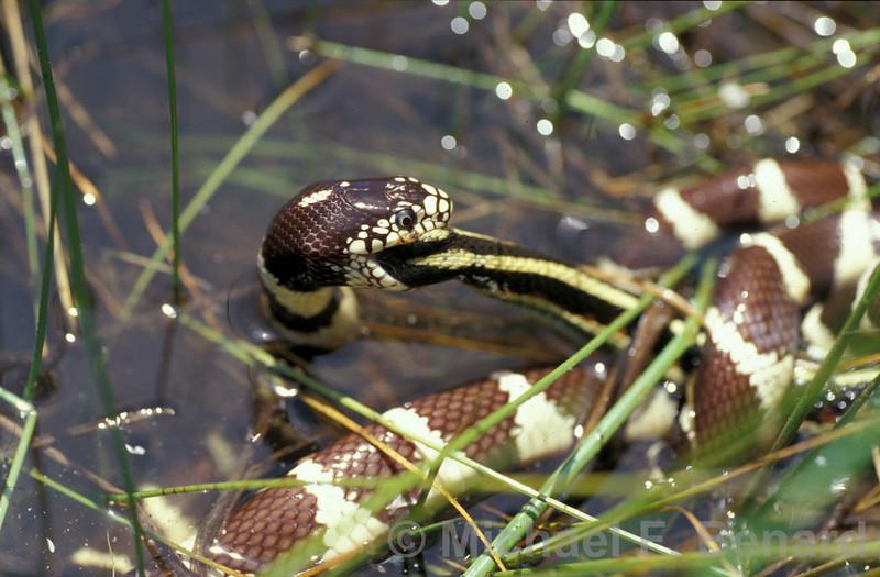 California Kingsnake eating a Garter Snake