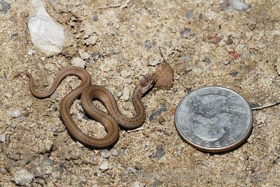 Brown Snake next to a coin.