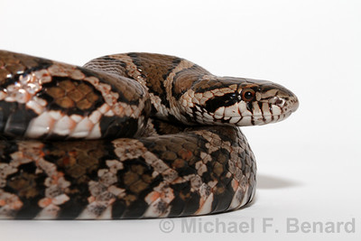 Portrait of Eastern Milk Snake