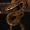 """8/18/11<br /> PPCR6<br /> Collection of Gavin Brink<br />  <a href=""""http://www.snakesoflatinamerica.com"""">http://www.snakesoflatinamerica.com</a>"""