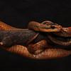 "8/18/2011<br /> Reindeer Dippin<br /> Collection of Gavin Brink<br />  <a href=""http://www.snakesoflatinamerica.com"">http://www.snakesoflatinamerica.com</a>"