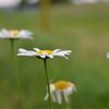 hazy daisy