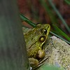 Green frog underneath the Sampson Park outlook.