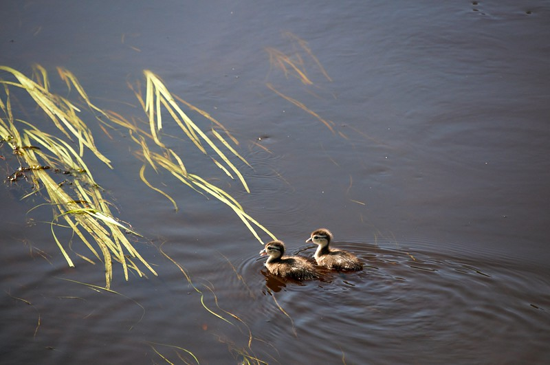 Ducklings Upriver of the Dam
