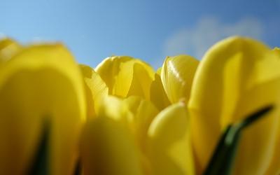 Gelbe Tulpen vorm Fenster