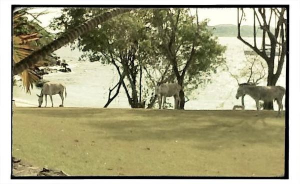 Caneel donkeys