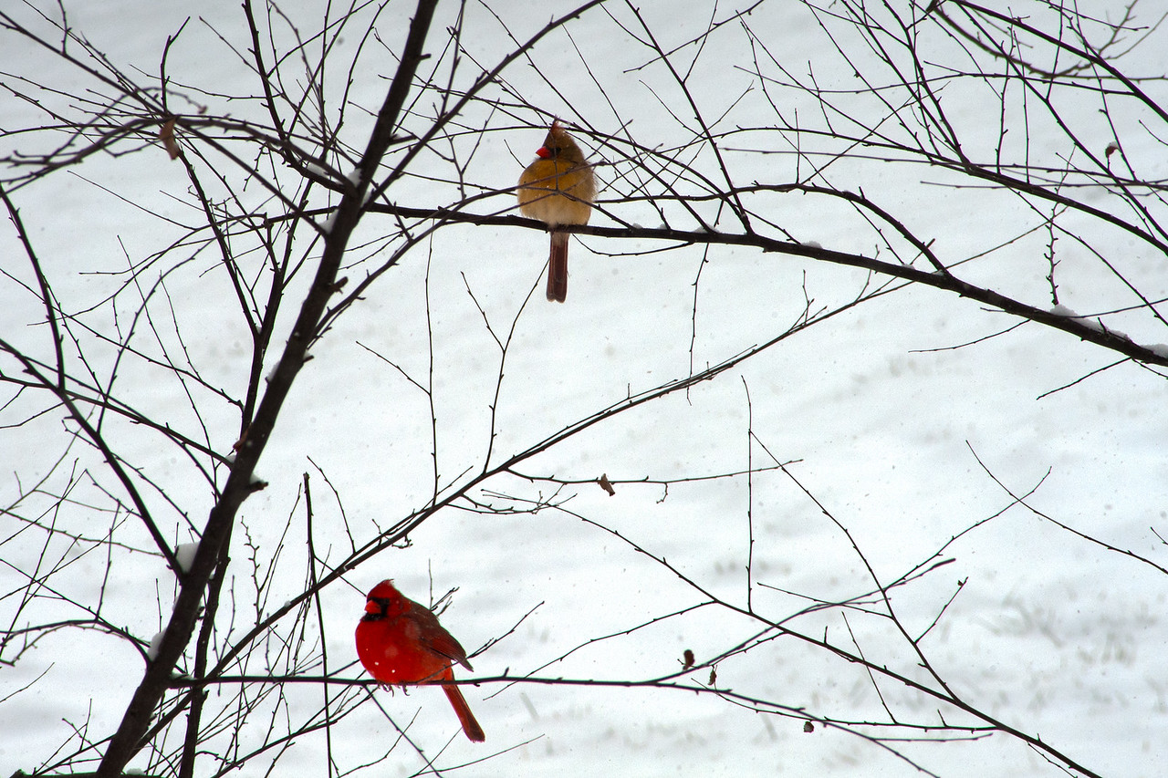 Snow and Cardinals