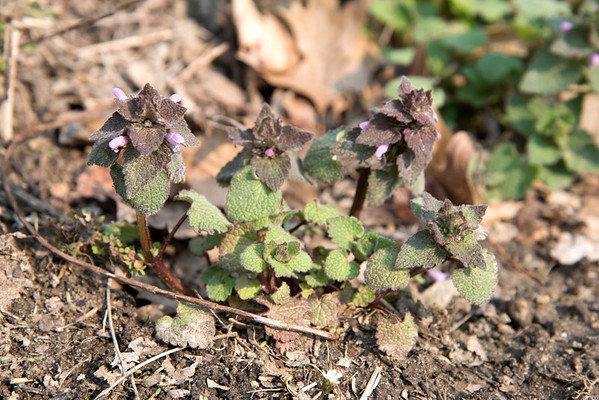 Snarky Gardener - Edible Weeds