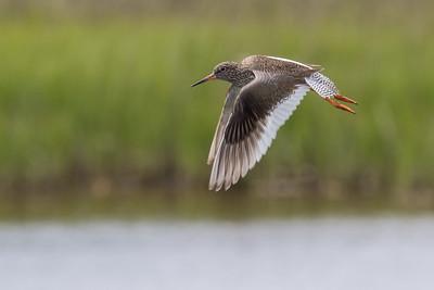 Common Redshank in flight