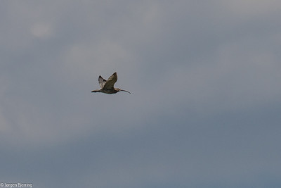 Eurasian Curlew - Storspove