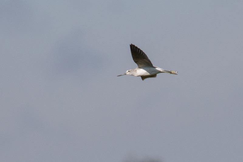 Common Greenshank - Hvidklire