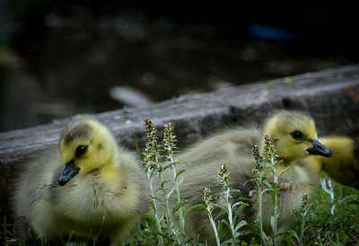 Sleepy goslings on their first day out of the shell