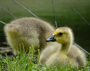 Goslings grow up!