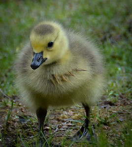 Young gosling taking first steps