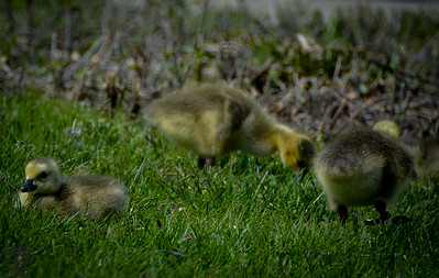 05-18-14 When I came upon the recently hatched goslings they were wandering within the grass discovering their first tasty morsels.