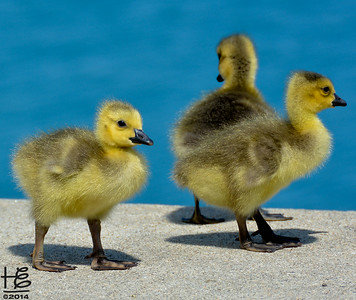 05-18-14 The newly hatched goslings gather at the ledge as two adults and one sibling wait in the water.  One adulti is still behind to give support & courage.