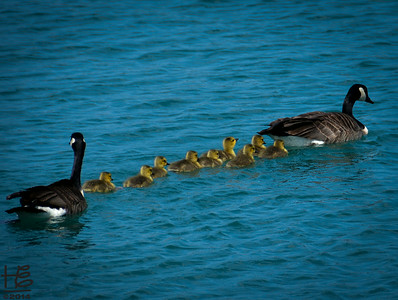 05-18-14 ... and off the goslings go in formation behind Mama.