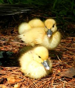 Young ducklings in Sunlight ready to roost